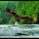 LUNCH (GOLDEN EAGLE CATCHING A FISH)